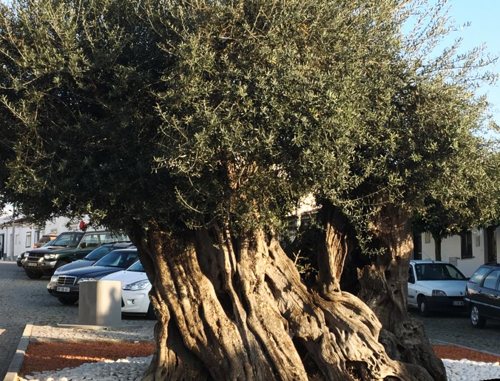 Több száz éves olajfa